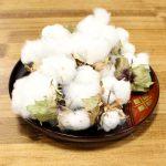 「和綿」の栽培に成功しました!